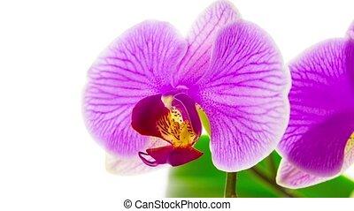 rosa, orchideen