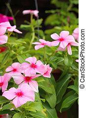 rosa, orchideen, park, natur