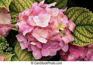rosa, ortensia, fiori