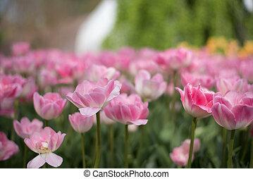 rosa, púrpura, blanco, tulipanes, en, jardín