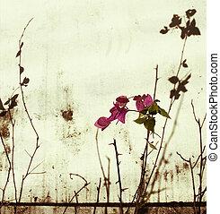 rosa, pared, bougainvillea, blanqueado