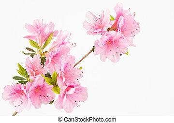 rosa, pastel, flor, grupo
