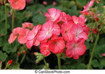 rosa, pelargonium