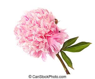 rosa, pfingstrose