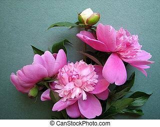 rosa, pfingstrose, blüten