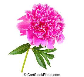 rosa, pfingstrose, blume