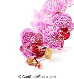 rosa, phalaenopsis., orquídea