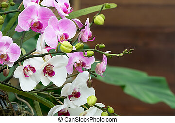 rosa, phalaenopsis