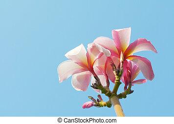 rosa, plumeria, cielo, fondo