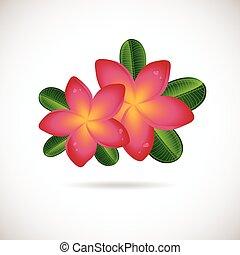 rosa, plumeria, flower.
