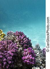 rosa, pocillopora, arrecife, fondo, coral, tropical, mar