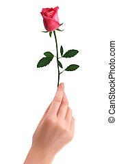 rosa, presa a terra, rosso, mano