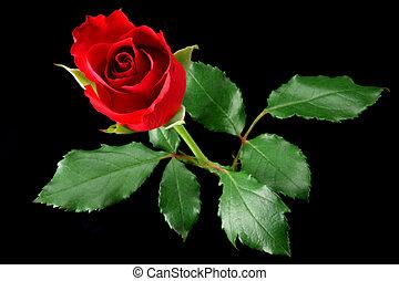 rosa, pretas, isolado, vermelho