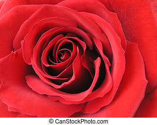 rosa, primer plano