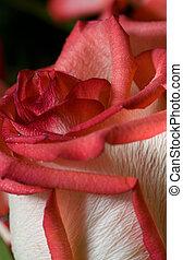rosa, primo piano, colpo, rosso