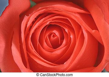 rosa, primo piano
