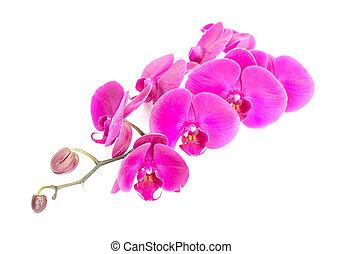 rosa, primo piano, orchidea