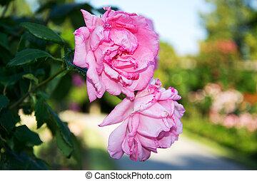 rosa, reina elizabeth