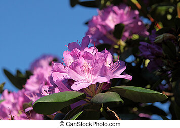 rosa, rhododendron, blüten
