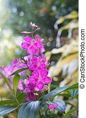 rosa, rhododendron, blume, malabar, baum, indische , blühen...