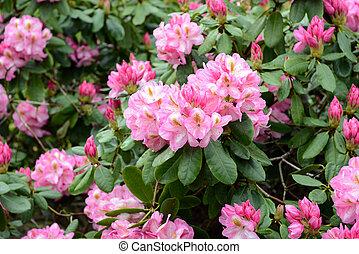 rosa rhododendron voll busch blumen bl te. Black Bedroom Furniture Sets. Home Design Ideas