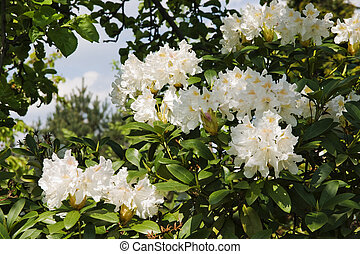 rosa, rododendro, arbusto, brillante