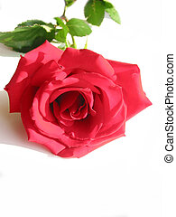 rosa roja, blanco