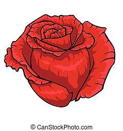 rosa roja, bud., aislado, flor, blanco, fondo.