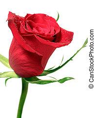 rosa roja, con, agua, gotitas