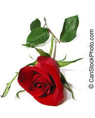 rosa roja, fondo blanco
