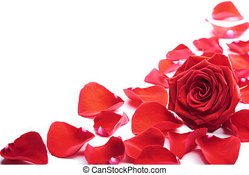 rosa roja, pétalos, aislado