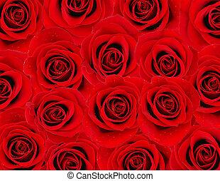 rosa roja, plano de fondo