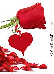 rosa roja, y, subió pétalos, blanco