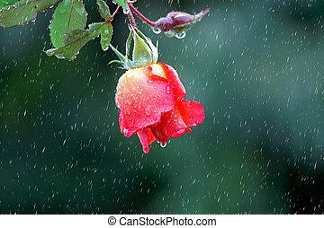 rosa, rojo
