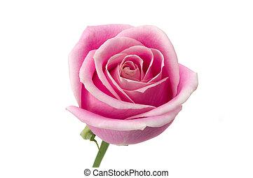 rosa, romanticos