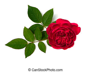 (rosa, roos, damast, damascena), bloem