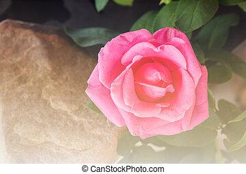 Rosa,  rosÈ, weich, Stimmung, Weinlese