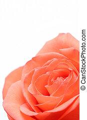 rosa rosa, över, vit