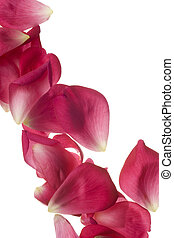 rosa rosa, petals, isolerat, vita