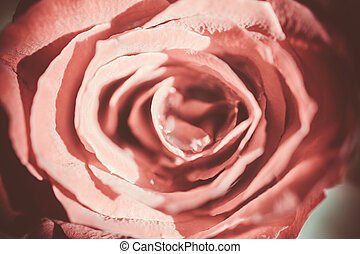 rosa, rose., macro, textura