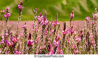 rosa, sainfoin, sol, belyst, flowers., vild, ordinär, blomningen, inflorescence