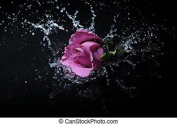 rosa, salpicadura, lavanda