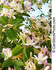 rosa selvagem, bush, amêndoa