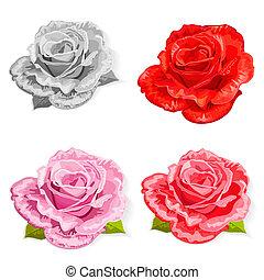 rosa, set, isolato