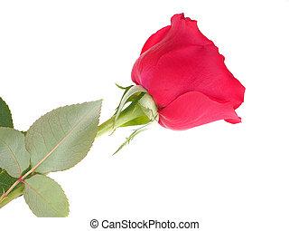 rosa, sfondo bianco