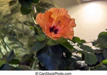 rosa-sinensis, hibisco