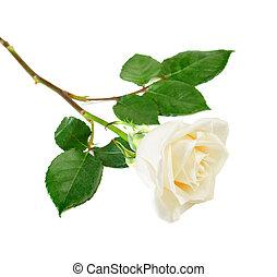 rosa, singolo, bianco