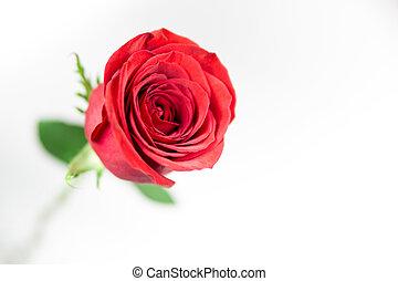 rosa, singolo, bianco rosso, fondo.