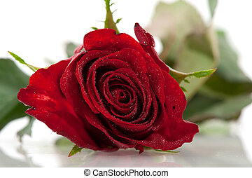rosa, singolo, rosso