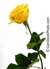 rosa, singolo, sfondo bianco, giallo